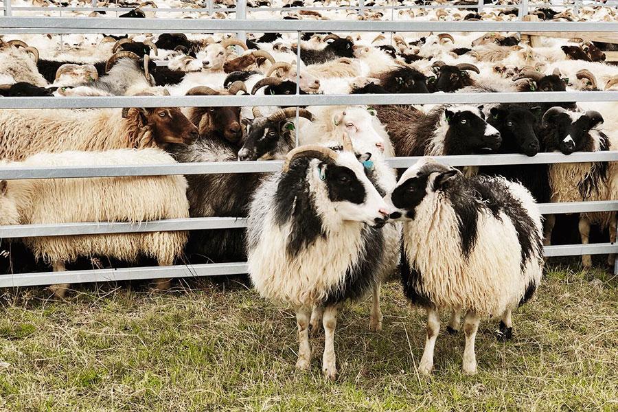 Fårinsamling på Island