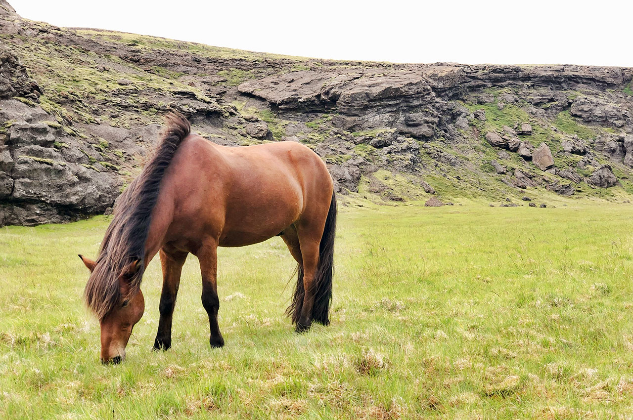 Islandshäst som betar på Island