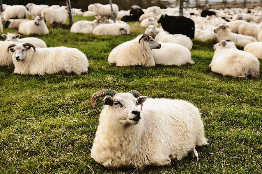 ridresa med fårinsamling