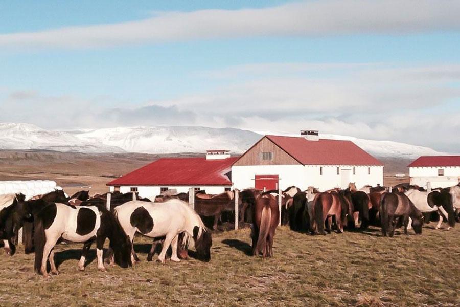 ridresa med hästinsamling på Island