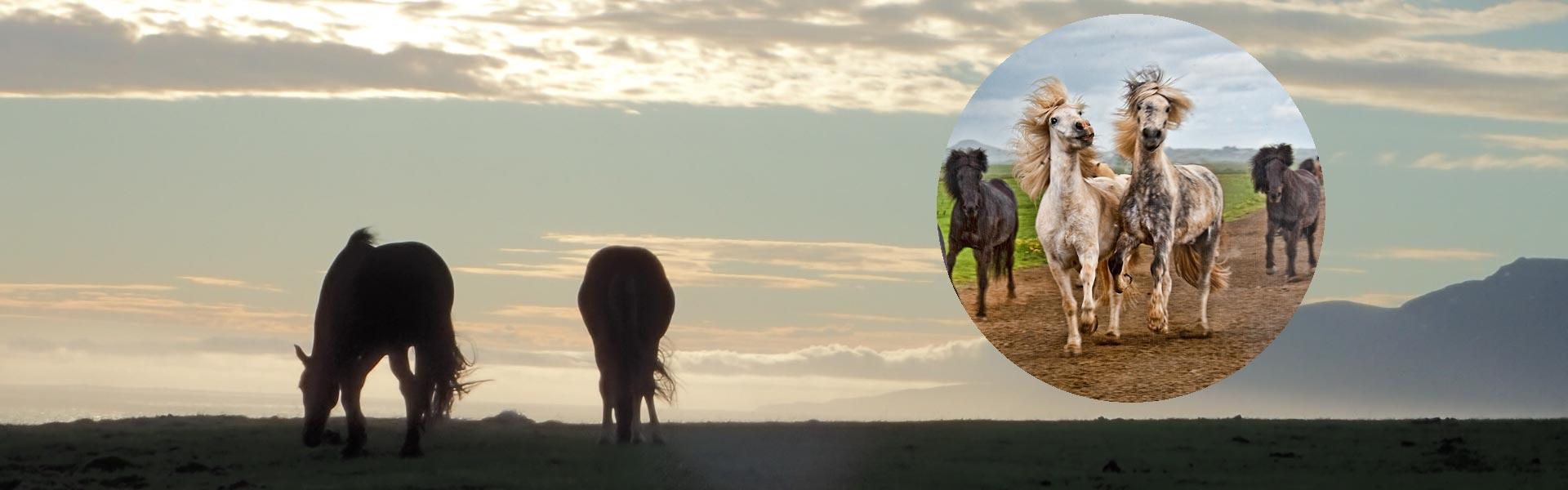 Ridblogg med ridresor, islandshästar och Island