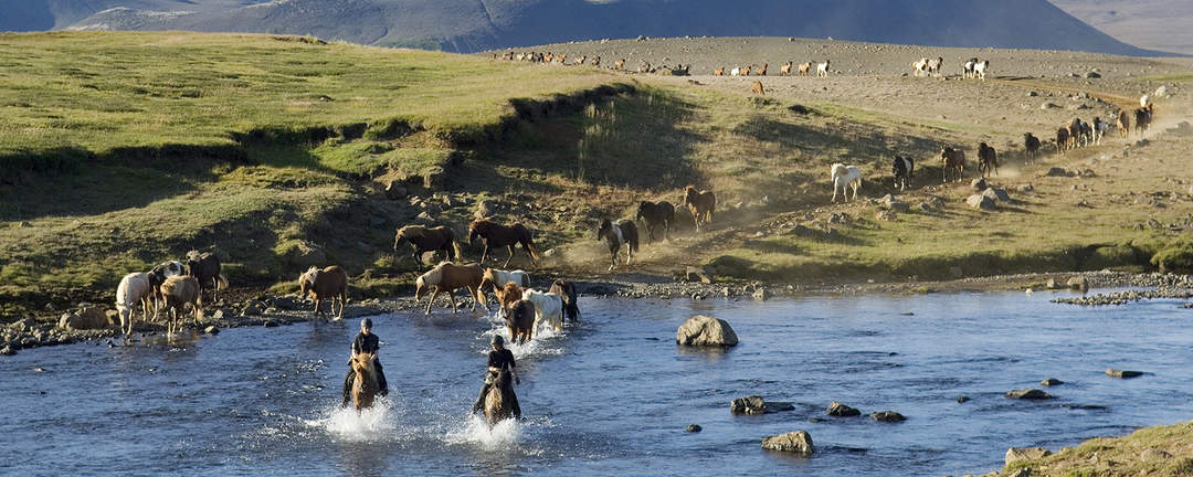 Rider över bäck med massor av islandshästar i följe