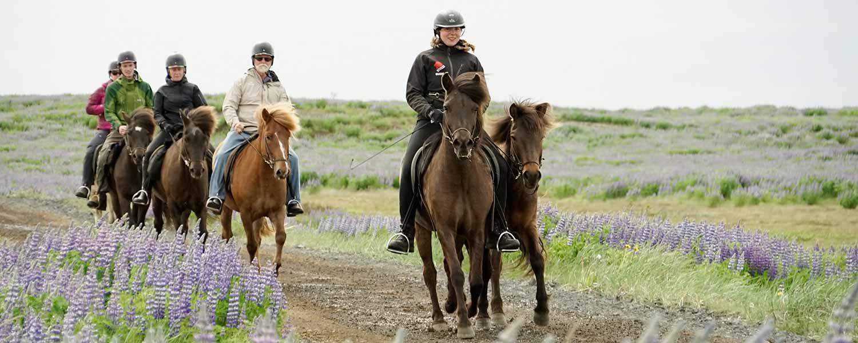 Rider på islandshästar bland blomstrande lupiner