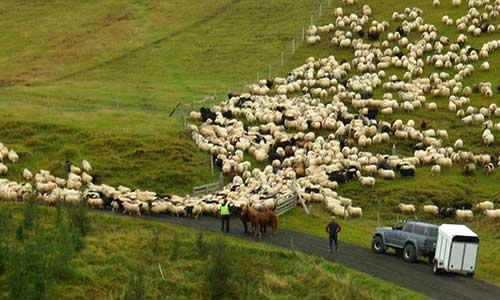Insamling av får inför vintern på Island