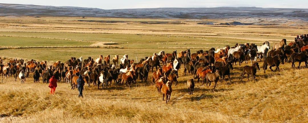 Driver flocken med islandshästar mot Víðidalstungurétt