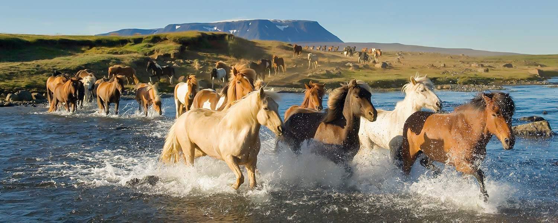 Vilda islandshästar i vatten